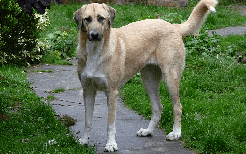 The Anatolian Shepherd Guardian Dog